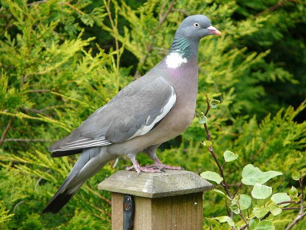 pigeonramier_pigeonramier-ccbysa-tristanferne.jpg