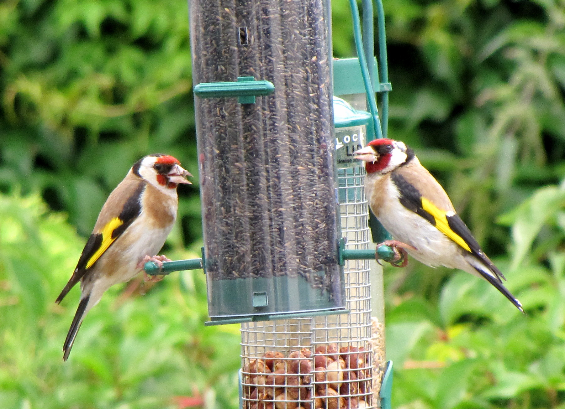 image Carduelis_carduelis_United_Kingdom_two_at_garden_bird_feeder8.jpg (0.7MB)